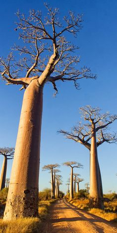 quenalbertini: Majestically Baobab Trees in Madagascar - Copyright Pierre-Yves Babelon via shutterstock Le Baobab, Baobab Tree, Beautiful World, Beautiful Places, Cap Vert, Tree Forest, Zimbabwe, Tree Of Life, Natural Wonders