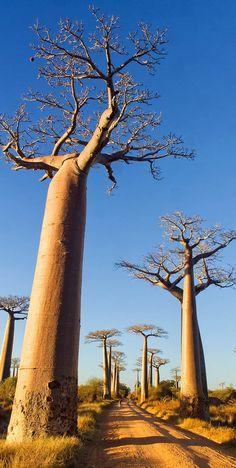 Majestosas árvores Baobás (Adansonia grandidieri) em Madagascar.  Fotografia: Pierre-Yves Babelon / via Shutterstock.  http://amongraf.ro/check-out-the-most-majestically-trees-in-the-world/4/