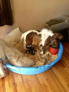 Oh my goodness! A miniature horse in a baby pool as bed and stall. Roozer Brewz … Oh my goodness! A miniature horse in a baby pool as bed and stall. Roozer Brewz the mini horse. Pretty Horses, Horse Love, Beautiful Horses, Animals Beautiful, Cute Funny Animals, Cute Baby Animals, Animals And Pets, Cute Baby Horses, Horse Pictures