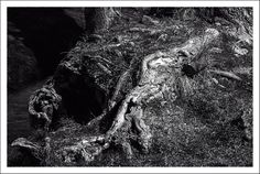 Miquel Fabré posted a photo:  While my granddaughters were playing in the nearby park, I was amusing myself by photographing the landscapes I had at hand. Forests, meadows, groves, rivers etc. And as I looked in the distance, I noticed that very close was a very old tree, with beautiful roots twisted by the years, cold, snow, sun ... and I thought they deserved a photo.  At first I edited it in color, but I did not like it and I turned it into black and white. I think it has much more force…