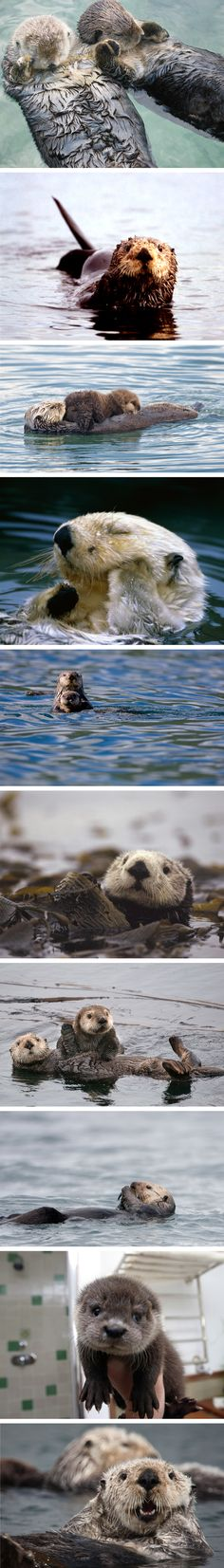 Sea otters.... perhaps the cutest animal alive!