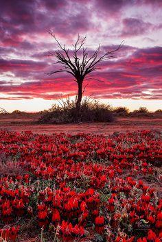 Red Sturt's Desert Pea in South Australia, Australia. Australian Desert, Australian Native Flowers, Australian Wildflowers, Landscape Photos, Landscape Photography, Nature Photography, Australian Photography, Landscape Paintings, Australia Landscape