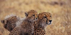 Save the Last Asiatic Cheetahs from Extinction!  With fewer than 40 living in the wild, and only 2 females left - Iran needs to act now to keep this unique animal from extinction. (35177 signatures on petition)