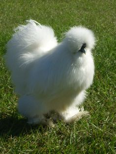 White Silkie Bantam. They're the lap kitty of the chicken world, complete with hair-like plumage and an incredibly sweet temperament