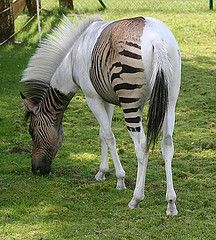 """Meet Eclyse - the amazing zebra crossing Zorse: Cross between a zebra and a horse. Paint horses don't pick up color in their white areas, hence the zebra stripes are only picked up in the paint's """"color zones"""". Unusual Animals, Rare Animals, Animals And Pets, Funny Animals, Strange Animals, Colorful Animals, Colorful Fish, Tropical Fish, Wild Animals"""