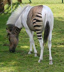 Zorse. Zebra/Horse mix.