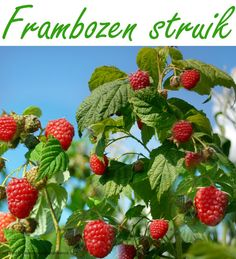 Achtertuin: achterste strookje; fruitstruiken, bijv. frambozen struik