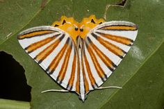 Colorful moth by Natalie McNear, Chirripo National Park, Costa Rica Papillon Butterfly, Butterfly Wings, Cool Insects, Bugs And Insects, Beautiful Bugs, Beautiful Butterflies, Beautiful Pictures, Beautiful Creatures, Animals Beautiful
