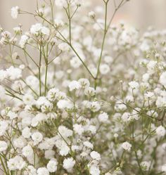 Learn when to plant Baby's Breath seed for weddings in our How to Grow Gypsophila Baby's Breath from Seeds instructions. Baby's Breath is easy to grow. Baby's Breath Plant, Gypsophila Elegans, White Flowers, Beautiful Flowers, White Roses, Succulent Wedding Centerpieces, Babys Breath Flowers, Dried Flower Bouquet, Gypsophila Flower