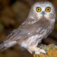Northern Saw-whet Owl Image 3