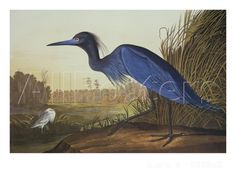 Free shipping, John  Audubon decoration oil painting, Blue Crane Or Heron - famous artist reproduction
