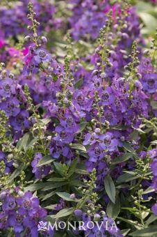 Monrovia's Archangel Summer Snapdragon details and information. Learn more about Monrovia plants and best practices for best possible plant performance.