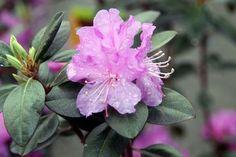 Rhododendron 'PJM' - ZipcodeZoo