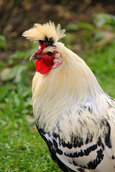 This is one very good looking chicken.