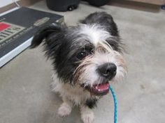 Horace is an adoptable Terrier Dog in Ottawa, KS. Meet Horace! This guy is super cute...he will be available for adoption on 8/2/12. All puppies and dogs are as up to date as possible on all of their ...