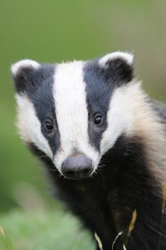 "Do stop 'Badger-ing' me!"" A badger is a heavily built omnivorous nocturnal mammal of the weasel family, typically having a gray and black coat. Animals And Pets, Baby Animals, Funny Animals, Cute Animals, Vida Animal, Mundo Animal, Primates, Mammals, Amphibians"