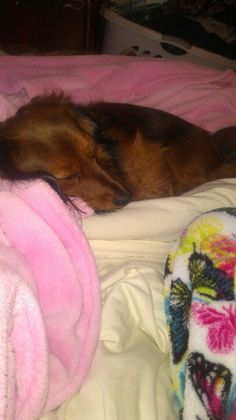 After surgery nothing is better than weiner dog snuggles! Sadie helping me feel better! <3