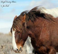 Photo by Joe Tosh. Stallion from Sand Wash Basin HMA, Colorado