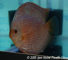 NaQ 2015 discus 1st red spotted