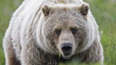 """""""Since 1975, grizzly bears have been on the federal Endangered Species List, offering them protection against hunters. But now the USFWS has proposed removing grizzlies from the list, effectively bringing open season to trophy hunters who want to shoot the bears for sport."""" Click for details and please SIGN and share petition to help stop the bloodshed. 10/9"""