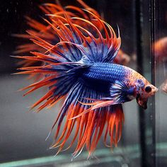 "Live Betta Fish "" GOOFY HALLOWEEN Dragon Head "" Crowntail CTHM (Male)"