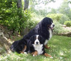 Bernese-Mountain-Dog-Dog-Breed-Pictures-11.jpg 1,600×1,370 pixels