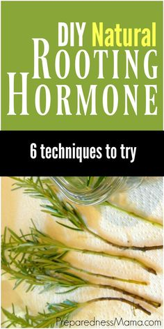6 Ways to Make Natural Rooting Hormone - Increase your bounty by making plant cuttings. Increase your health by making your own natural rooting hormone in place of commercial powders.These 6 natural rooting hormone techniques are easy to do. Hydroponic Gardening, Hydroponics, Vegetable Gardening, Gardening Hacks, Urban Gardening, Container Gardening, Kitchen Gardening, Gardening Supplies, Urban Farming