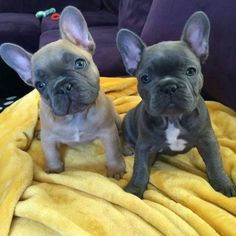 'Hazel and Violet', the French Bulldog Puppies.