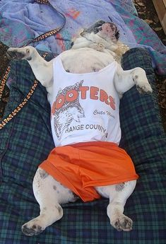 An English Bulldog as a Hooters Waitress