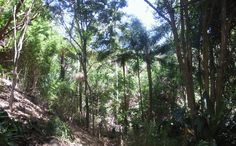 And so, as with many large Queensland gardens this space is encouraged to revert to rainforest.