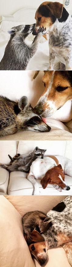 Pumpkin the raccoon :)                                                       …