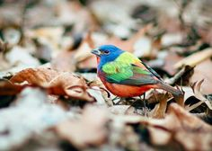 Painted Buntings are fairly common finches that breed in the coastal Southeast and South-Central U.S.