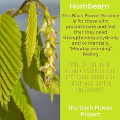 Bach Flower Remedy - HORNBEAM