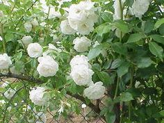 My grandpa had Rosebushes on the side of the cottage facing the street. He had White and Yellow roses on a trellis