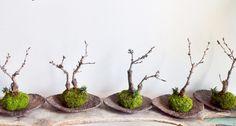 旭山桜 苔玉2 (moss green ikkei ×Kitowa)
