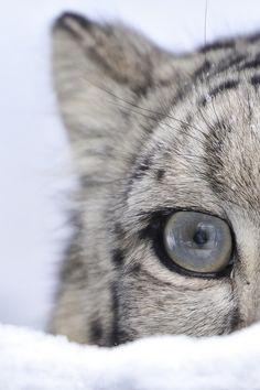 Eye of a Snow Leopard