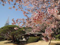 I love sakura! Shinjuku Gyoen, Visit Japan, Fukuoka, Cherry Blossom, Dolores Park, Marvel, Landscape, My Love, Nature