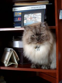 Himalayan cat- Bailey