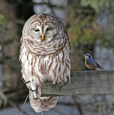 """And then I went and saw that thing, and then he said that stuff, and then she said it too, and then... and then..."" ""Oh do shut up!""  Love this - Barred Owl & Nuthatch"