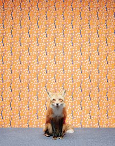 View top-quality stock photos of Red Fox Sitting In Front Of Wallpaper. Find premium, high-resolution stock photography at Getty Images. Fox Stock, Fennec, Fantastic Fox, Amazing, Awesome, Fox Pictures, Mr Fox, Orange Walls, Orange Orange