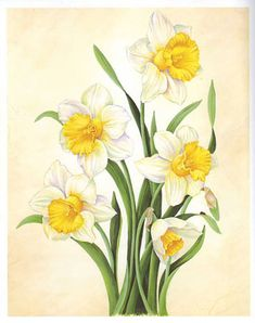 White and Yellow Daffodils (*)