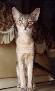 abyssinian cat   blue