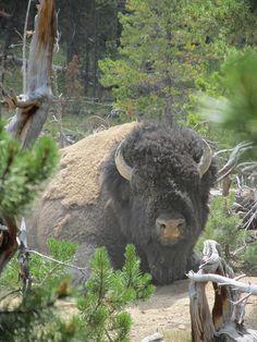 Huge bull bison, Wyoming, U.S.