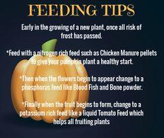 Growing Pumpkins with your kids, An easy garden activity with gardening help, grow your own advice - Modern Design Pumpkin Garden, Pumpkin Farm, Veg Garden, Autumn Garden, Easy Garden, Pumpkin Plants, Veggie Gardens, Garden Gate, Garden Ideas
