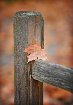Leaf On The Fence Photograph  - Leaf On The Fence Fine Art Print