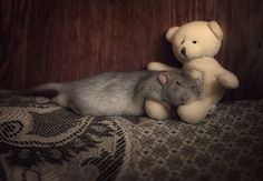 rats <3 teddy bears (via. Ratdistrict)