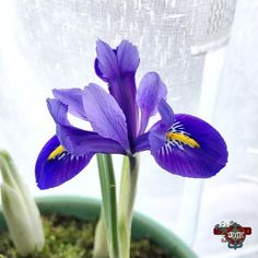 Forgot to post this yesterday. First #flower of #spring #iris #purple #photoaday365 #2017photoaday365 #12thjan2017 #photochallengeDMR #day12of365 Photos from my travels