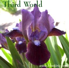 "dwarf bearded iris 'Third World', 10.5"" tall Blue J Iris, NE"