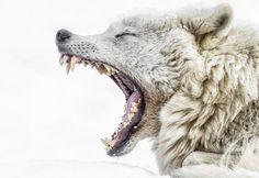Yawning Wolf Photo by Jean-Francois Beaudry — National Geographic Your Shot National Geographic, Wolf Poses, Animals And Pets, Cute Animals, Wolf Hybrid, Wolf Husky, Wolf Stuff, Wolf Spirit, White Wolf