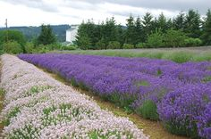 Visit a lavender farm in the Tualatin Valley (just a few minutes drive from Portland)
